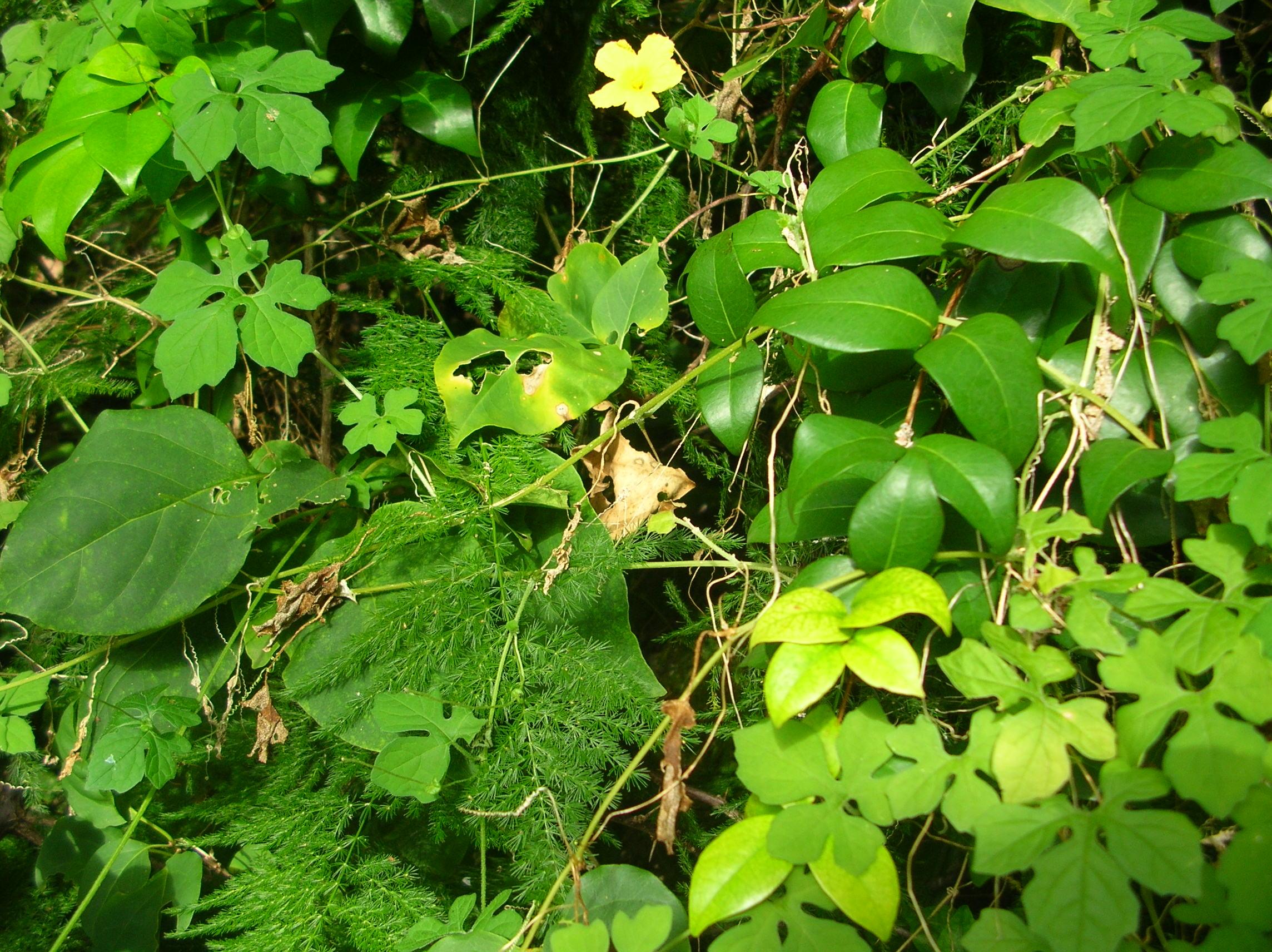 Bahamas Bush Medicine Cerasee Paula S Paradise