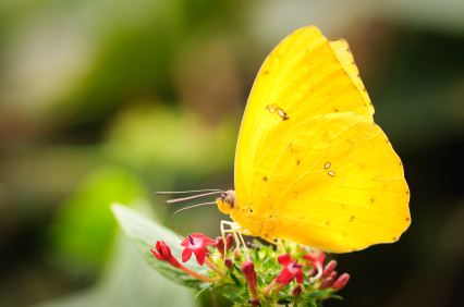 Yellow Butterfly of JOY