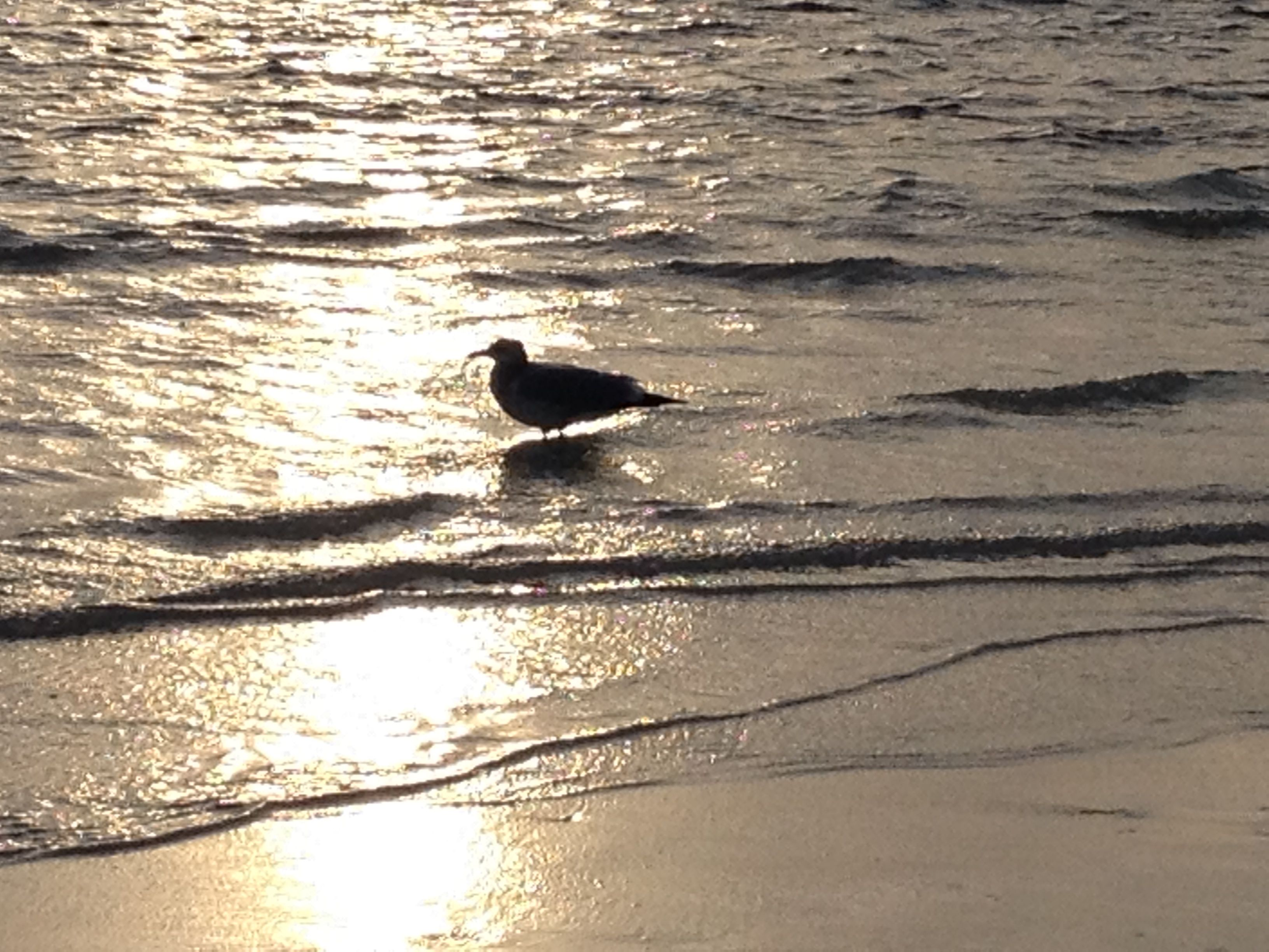 silhouettes.shorebirds